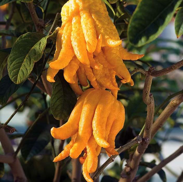 Ręka Buddy - ten owoc odmładza i przyciąga fortunę!